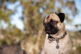 Close-up Outdoor Portrait of Pug Looking Left