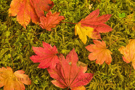 Autumn Vine Maple Leaves n Olympic National Park