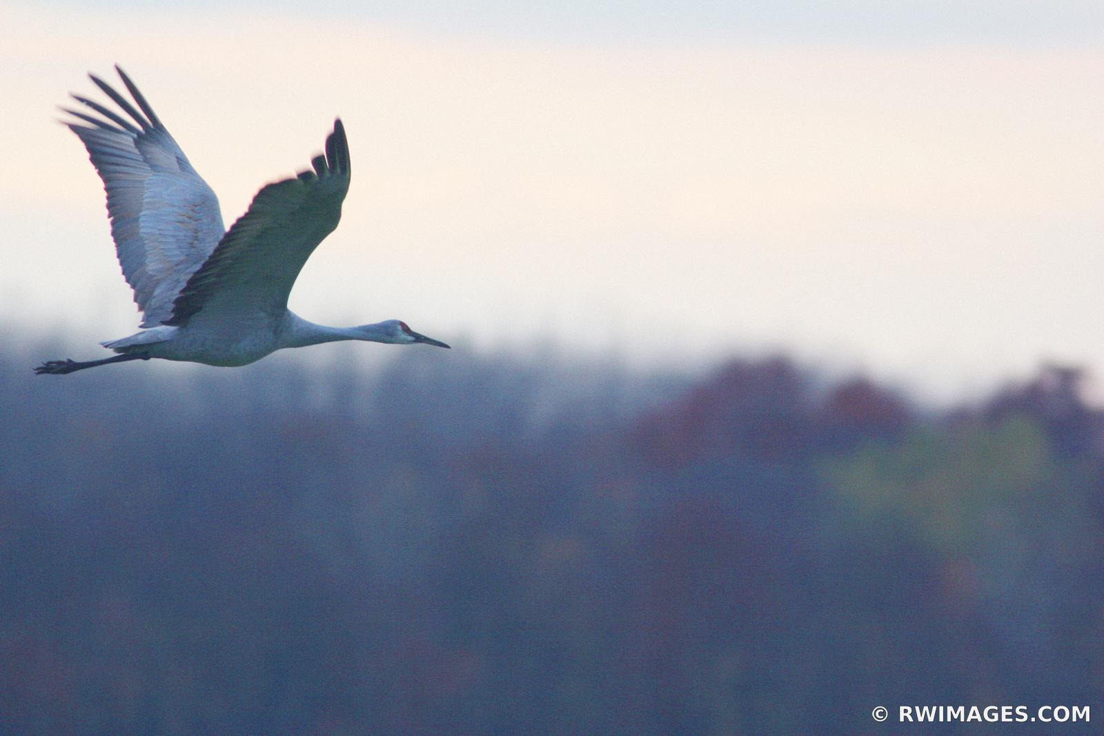 THE JOURNEY BEGINS ; MIGRATING SANDHILL CRANE GRUS CANADENSIS