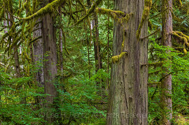 Western Red Cedar and Spruce Trees in Federation Forest State Park