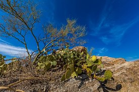 Desert Plants in Saguaro National Park