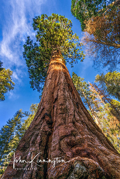 Giant Sequoia, Kings Canyon National Park, California