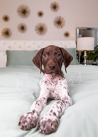 Brown and White Pointer Puppy Lying on Bed  with Paws out Head Raised