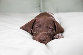 Pointer Puppy Lying on Bed Asleep