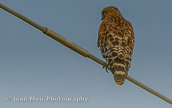 Red-Shouldered_Hawk_II