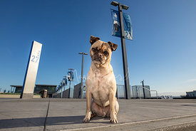 Senior Pug Mix Sitting in Front of Pier 27 in SF