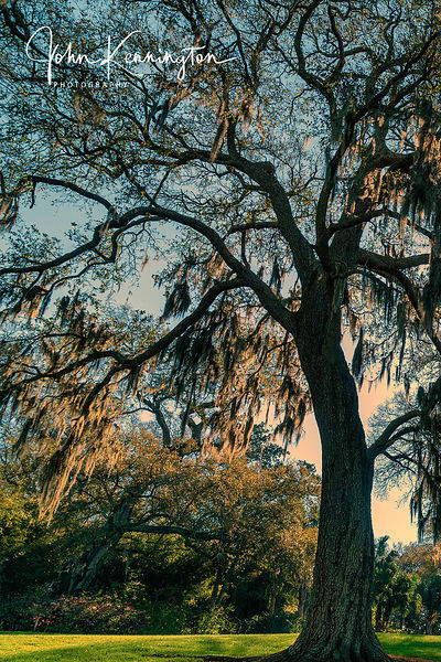 Rip Van Winkle Live Oak, New Iberia, Louisiana