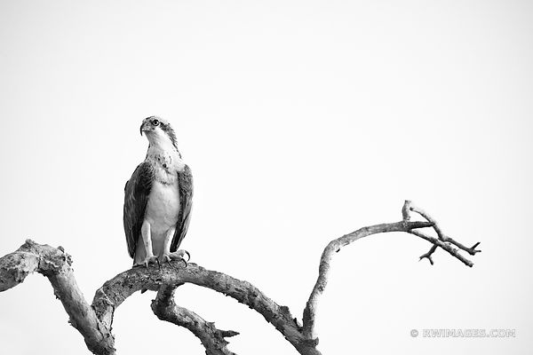 OSPREY FLAMINGO AREA EVERGLADES FLORIDA BLACK AND WHITE