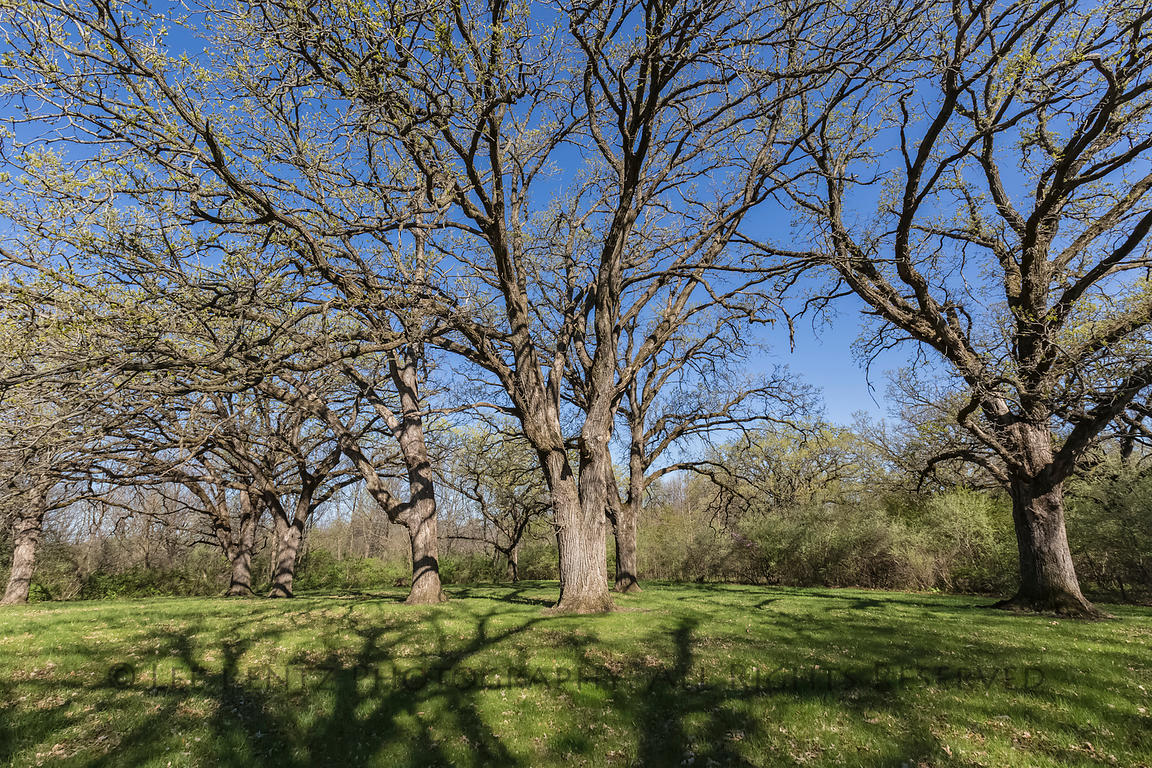 Bur Oak in Johnson-Sauk Trail State Recreation Area