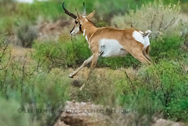 Pronghorn near City of Rocks State Park, New Mexico
