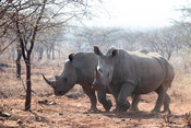 White rhinoceros, Ceratotherium simum, Pongola Game Reserve, South Africa