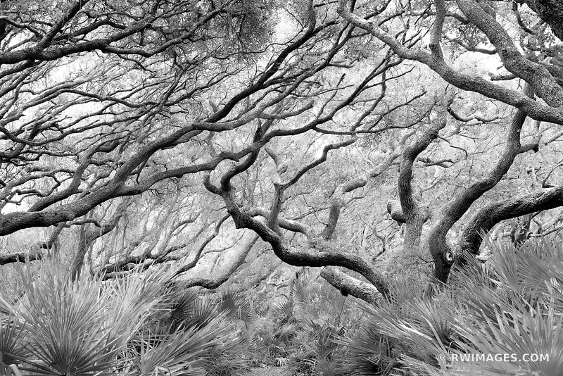 COASTAL FOREST LIVE OAK TREES PALMETTOS CUMBERLAND ISLAND GEORGIA BLACK AND WHITE