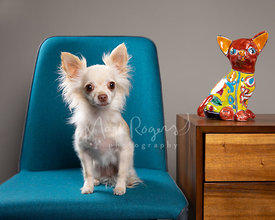 White Longhaired Chihuahua In Chair Next to Ceramic Dog