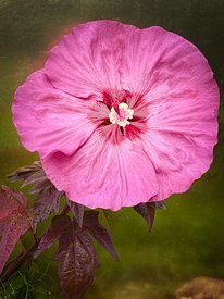 ACutting_pink_Flower_Hibiscus_larger_iphone_3672_2