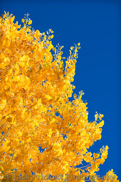 Golden foliage of Southwest cottonwood