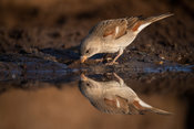 Southern grey-headed sparrow drinking, Passer diffusus, Zimanga Game Reserve, South Africa