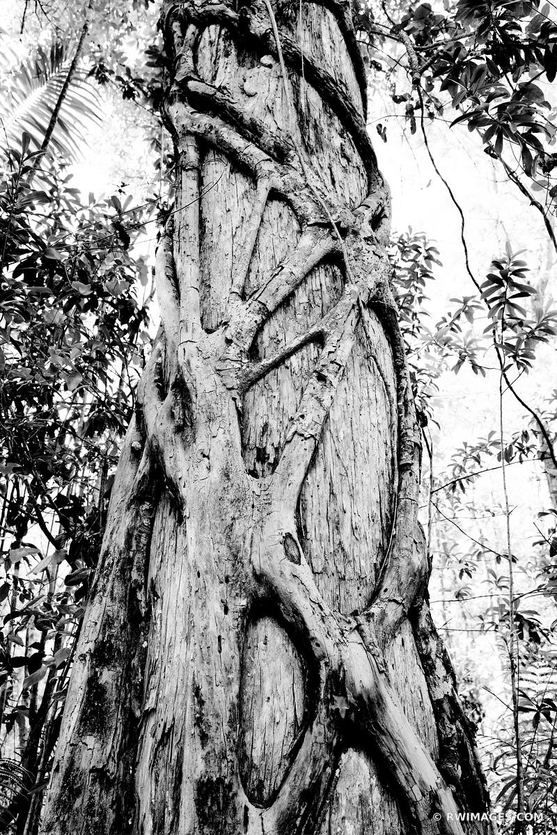 STRANGLER FIG TREE ROOTS BIG CYPRESS BEND FAKAHATCHEE STRAND PRESERVE STATE PARK EVERGLADES FLORIDA BLACK AND WHITE VERTICAL