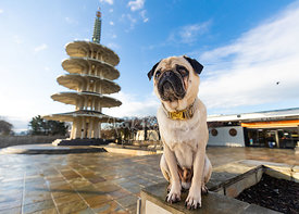 Pug Sitting  in SF Japantown Peace Plaza