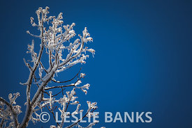 Frozen Tree Branches in a Winter Ice Storm