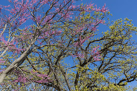 Eastern Redbud and Bur Oak in Johnson-Sauk Trail State Recreation Area