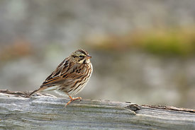 March - Savannah Sparrow