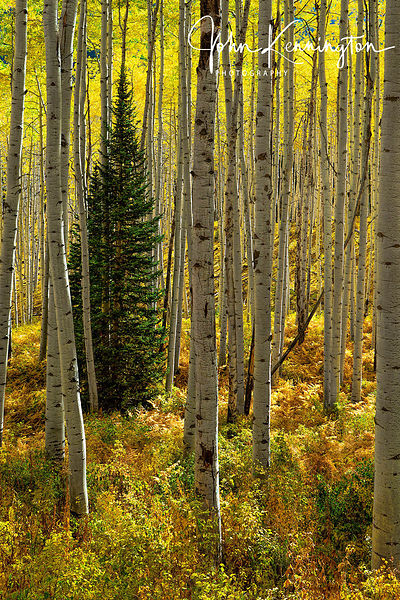 Aspen Forest, Gunnison National Forest, Colorado