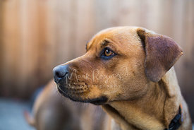 Profile Close-up Portrait of Brown Puppy Looking to Side