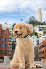 Happy Retriever Puppy Sitting in Levis Plaza in San Francisco