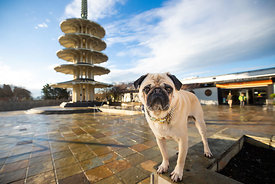 Pug in SF Japantown Peace Plaza