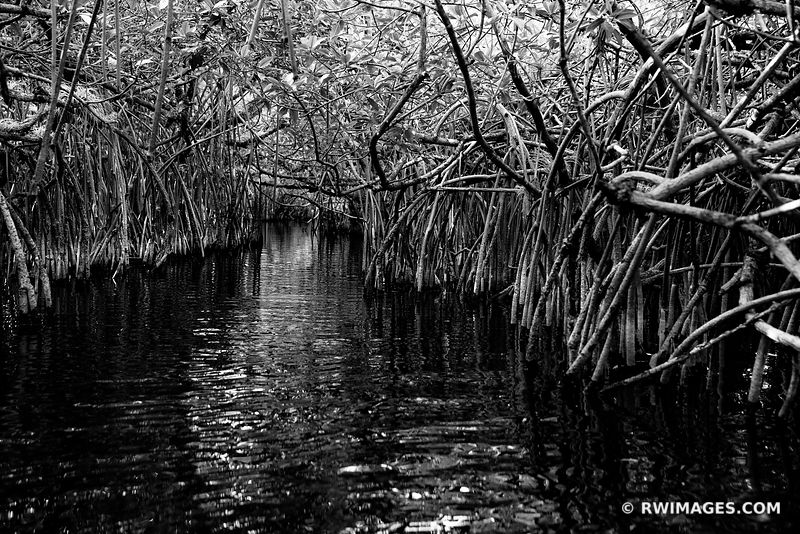 MANGROVE TUNNEL TURNER RIVER CANOE TRAIL BIG CYPRESS NATIONAL PRESERVE EVERGLADES FLORIDA BLACK AND WHITE