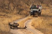 Tourists watching wild dog pups, Lycaon pictus, Balule Game Reserve, South Africa