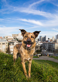 Brindle Shepherd Mix Dog Standing on Hill in San Francisco Park