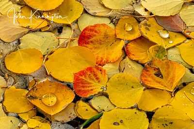 Floating Aspen Leaves No 3, Uncompahgre National Forest, Colorado