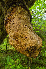 Bigleaf Maple Burl in Olympic National Park