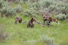 grizzly_bear_tetons_06202020-53