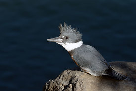 October - Belted Kingfisher