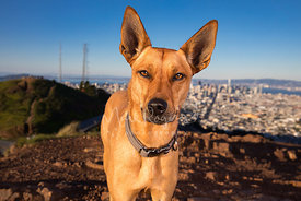 Close-up of Red Cattle Dog Hound Mix on SF Hill