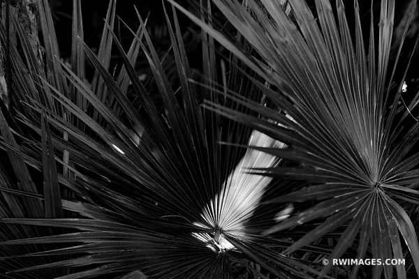 PAUROTIS PALM TREES MAHOGANY HAMMOCK TRAIL EVERGLADES FLORIDA BLACK AND WHITE
