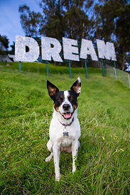 Cattle Dog Mix Sitting in Front of Dream Sign on Hill