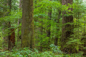 Western Hemlock and Vine Maple in Federation Forest State Park