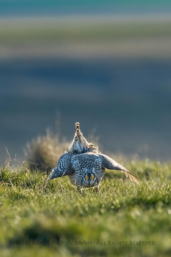 Sharp-tailed Grouse Male on Lek in Fort Pierre National Grassland