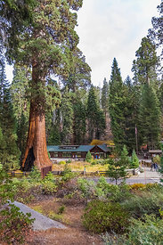 Sentinel Tree and Giant Forest Museum in Sequoia National Park