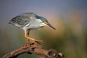 Striated heron, Butorides striata, Zimanga Game Reserve, South Africa