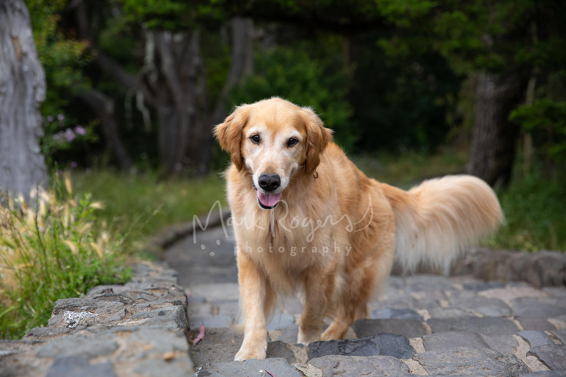 Golden Retriever Walking Up Stone Steps