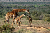 Southern giraffe with young, Giraffa camelopardalis giraffa, Samara Game Reserve, South Africa