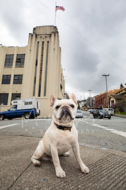 White French Bulldog Sitting near Anchor Brewing Company in SF