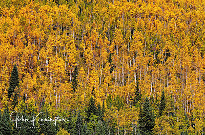 Aspen Hillside, San Juan National Forect, Colorado