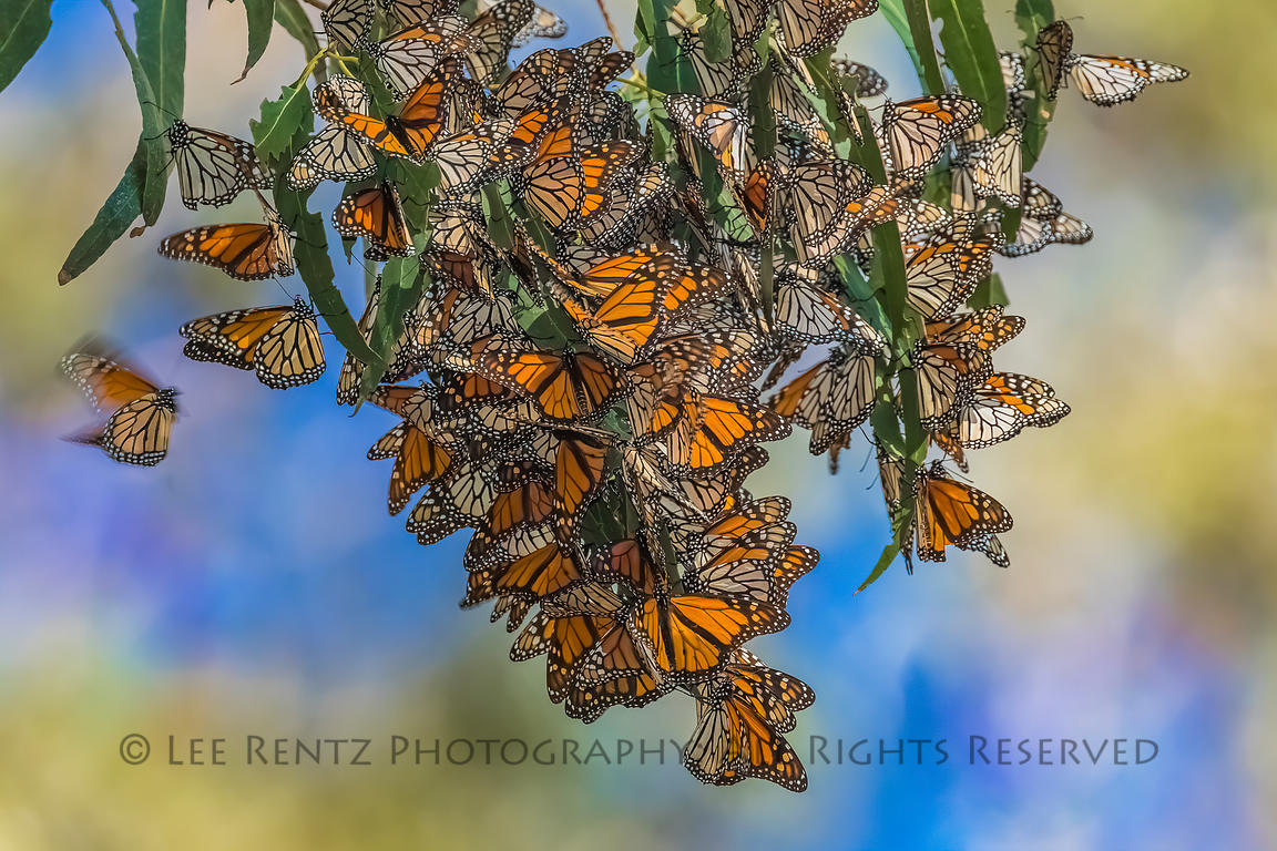 A GATHERING OF MONARCHS