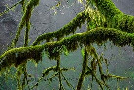 Moss-covered Maple Branches in Silver Falls State Park