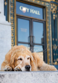 Golden Retriever Sleeping in front of  SF City Hall